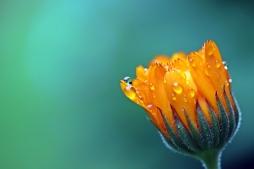 marigold-pixabay-1568646_1280.jpg